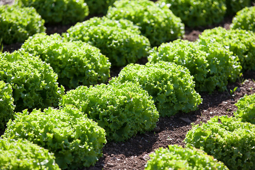 Image of Lettuce being produced