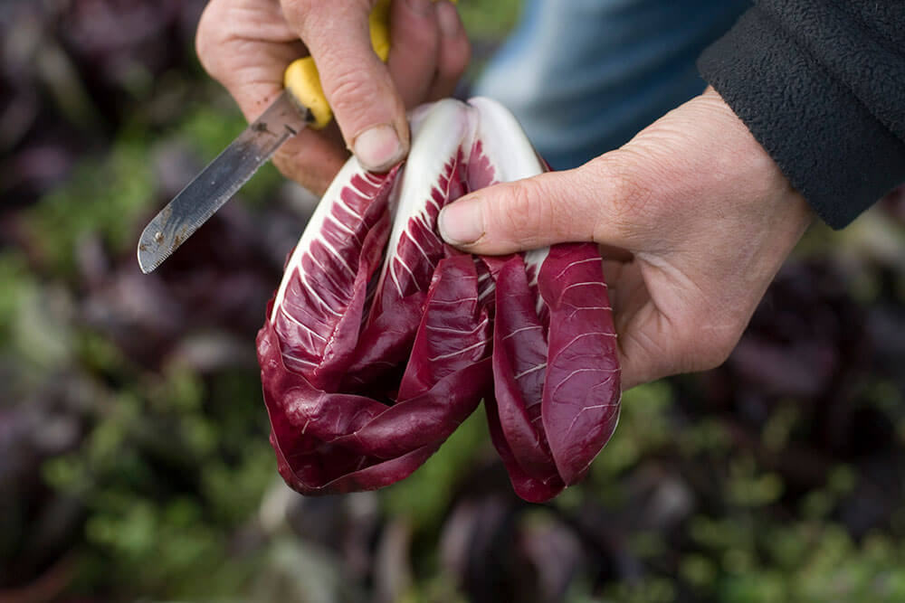Image of Radicchio being produced