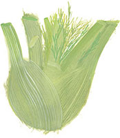 Hand drawn image of Fennel