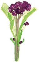 Hand drawn image of Purple sprouting broccoli