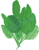 Hand drawn image of Spinach