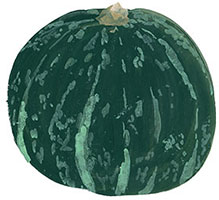 Hand drawn image of Squash