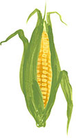 Hand drawn image of Sweetcorn