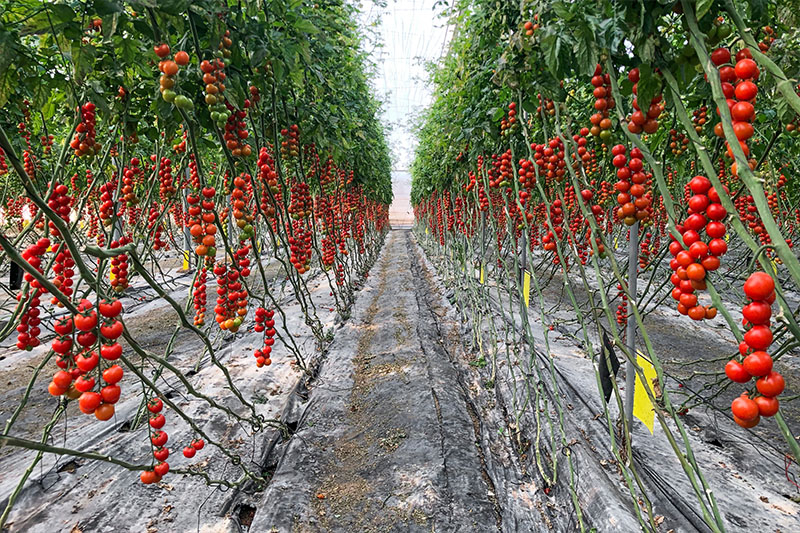 Paco Lozano is passionate about tomatoes. And not just any tomatoes – organically grown, ripened under the Spanish sun in his greenhouses in Almería.