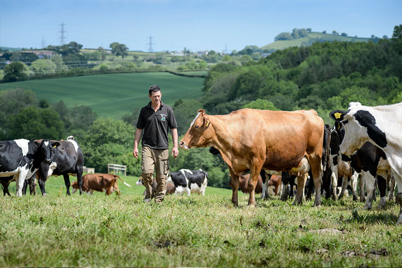 >The Riverford Dairy provide us with fresh organic milk, cream and natural yogurt from their pasture-reared herd in Devon.